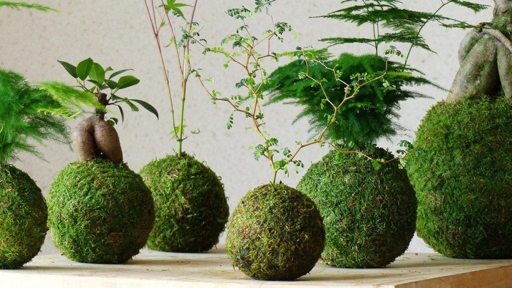 pianta kokedama